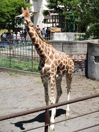 LeionGiraffe