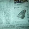 ルソンアサギマダラの新聞記事
