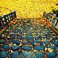 写真: 銀杏の絨毯