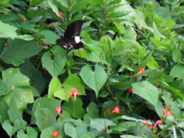 カラスアゲハの変形種か? (5)