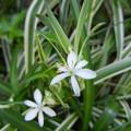 Photos: オリヅルランの花