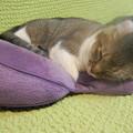 猫 アメリカンカール