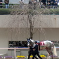 開花目前の桜の木とゴールドシップ