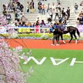 Photos: クッカーニャと桜