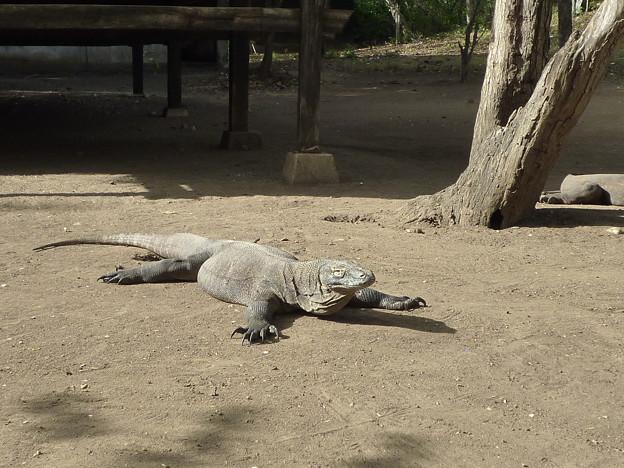 いるいる Komodo dragon with its long tail and claws