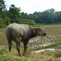 水牛のいる棚田,タナ・トラジャ Water buffalo  in rice terraces