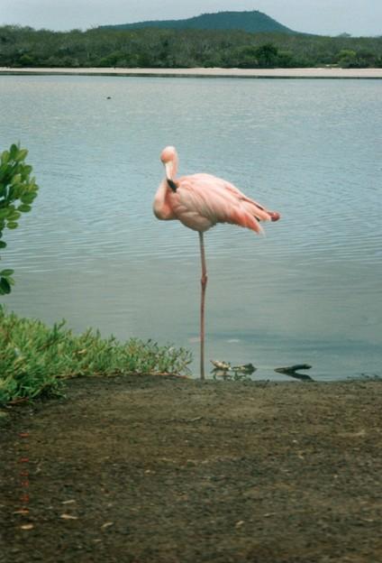 ベニイロフラミンゴ、ガラパゴス  Flamingo,Floreana Island   *薄紅の羽根をかすかに震わせてそよそよ風の吹き過ぎにけり