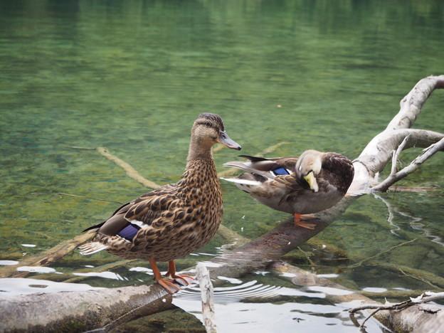 クロアチアの鴨 Ducks on fallen trees in crystal-clear water