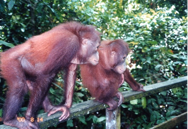 興味津々 Orang utan ,Malaysia