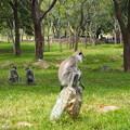 聖なる猿:ハヌマンラングール Sacred Monkey