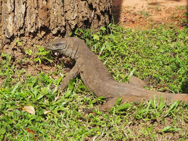 スリランカのオオトカゲ Big Lizard in Sri Lanka