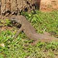 写真: スリランカのオオトカゲ Big Lizard in Sri Lanka