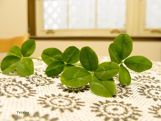 Photos: 四つ葉のクローバー
