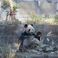Photos: パンダ