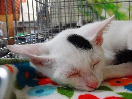 kouさん保護猫 マル「叫び疲れたニャ」