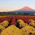 11月4日富士宮市からの夕方富士山           ~赤富士と菊のコラボが美しかったですね~