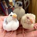 写真: 弥富文鳥のヒナです(^ ^)