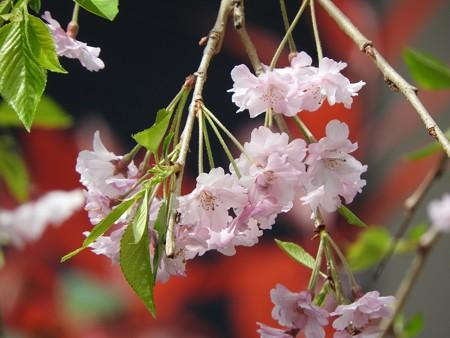 庭 しだれ桜5