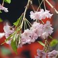 写真: 庭 しだれ桜5