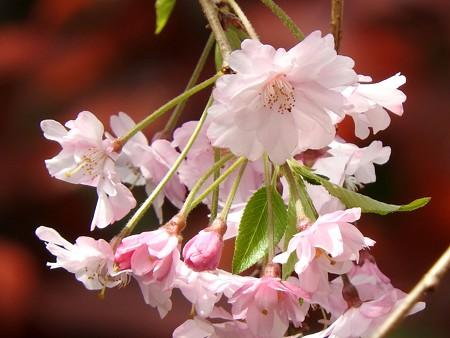 庭 しだれ桜6