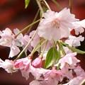 写真: 庭 しだれ桜6