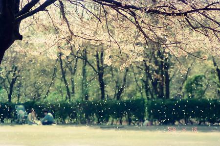 千葉子どもの国 28年前の桜吹雪(1988)