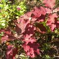 写真: 柏葉アジサイの紅葉