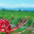 草原の彼岸花