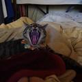 写真: ナナのあくび