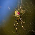 カラフルな蜘蛛?@上尾
