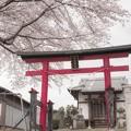 鳥居と桜@北本