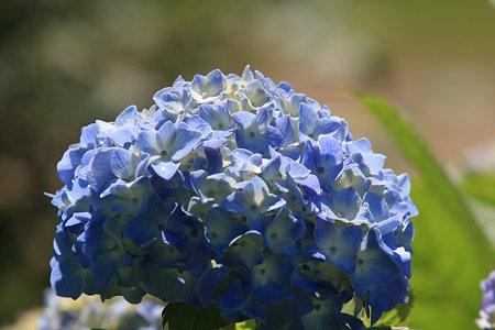 2012.06.10 和泉川 アジサイ