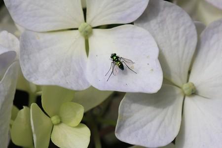 2012.06.27 追分市民の森 紫陽花にマダラアシナガバエ