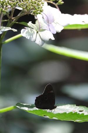 2014.07.15 瀬谷市民の森 アジサイにクロヒカゲ
