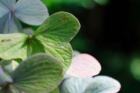 2014.07.15 瀬谷市民の森 紫陽花