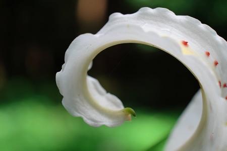 2014.07.20 瀬谷市民の森 ヤマユリ 波