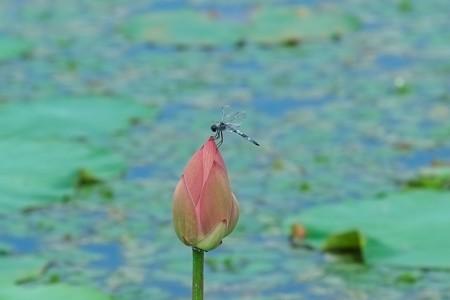 2014.08.05 瓢湖 蓮にオオシオカラトンボ
