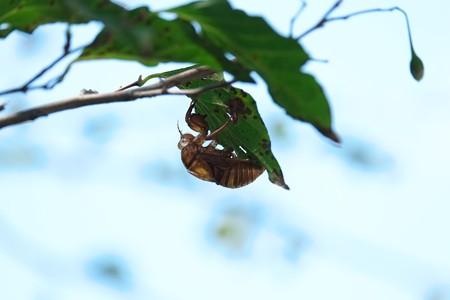 2014.08.11 和泉川 エゴノキに空蝉