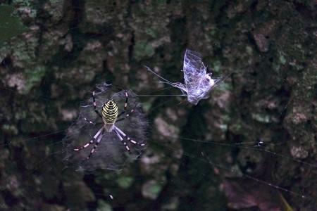 2014.08.15 瀬谷市民の森 ナガコガネグモに囚われたヒグラシ