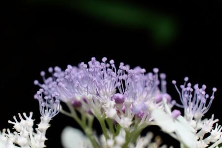 2014.08.17 瀬谷市民の森 タマアジサイ