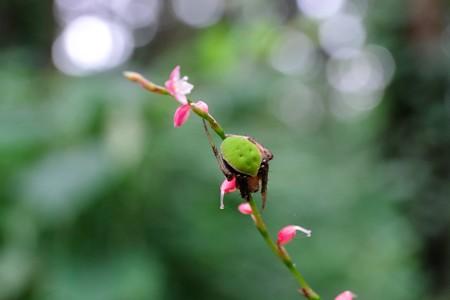 2014.08.31 瀬谷市民の森 ミズヒキにワキグロサツマノミダマシ