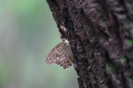 2014.08.31 瀬谷市民の森 ヤマキマダラヒカゲ