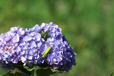2014.09.28 和泉川 紫陽花にツチイナゴ