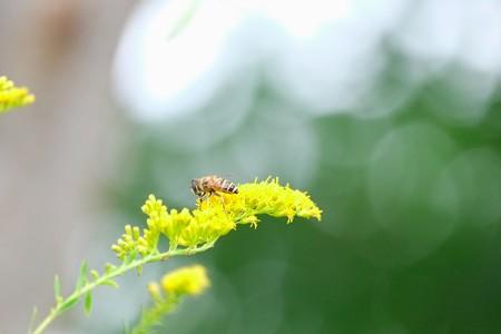 2014.10.09 和泉川 セイタカアワダチソウにミツバチ