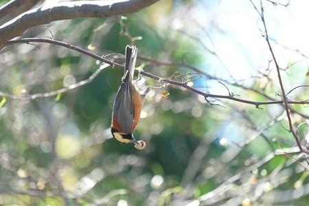 2014.10.14 和泉川 エゴノキにヤマガラ 貯食