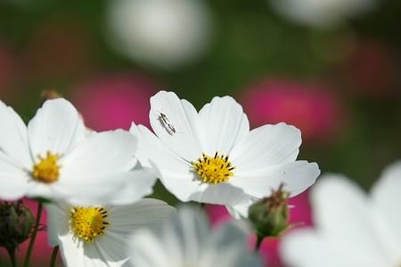 2014.10.18 追分市民の森 秋桜にヒメナガカメムシ