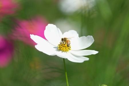 2014.10.18 追分市民の森 秋桜にミツバチ