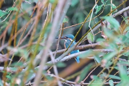 2014.10.19 和泉川 柳の枝の中にカワセミ