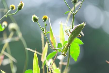 2014.10.20 瀬谷市民の森 コセンダグサで蟻と蟷螂