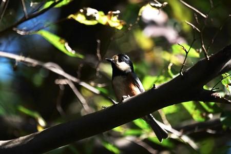 2015.10.28 瀬谷市民の森 エゴノキにヤマガラ